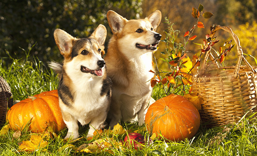 Pumpkin for Pets