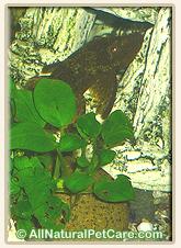 Bristlenose Pleco (Ancistrus) & Anubias aquarium plants
