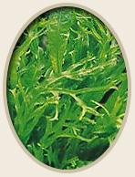 Java Fern Lace Microsorium pteropus Windelov