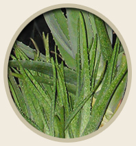 The Many Uses of Aloe Vera for Pets - Dogs, Cats, Horses, Rabbits