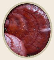 Mushroom Reishi Ganoderma lucidumr Pets