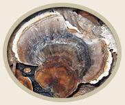 Yunzhi or Kawaratake Mushroom (Coriolus versicolor) for Pets