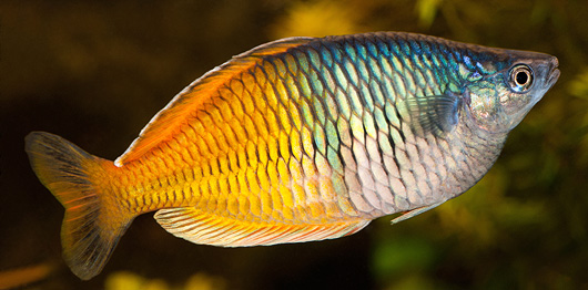 Naturally Enhance the Color of Aquarium Fish with Food