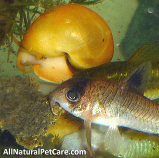 Get Rid of Aquarium Algae the Natural Way - Snail & Cory