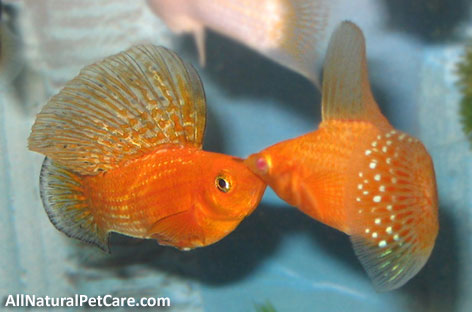 Get Rid of Aquarium Algae the Natural Way - Sailfin Mollies