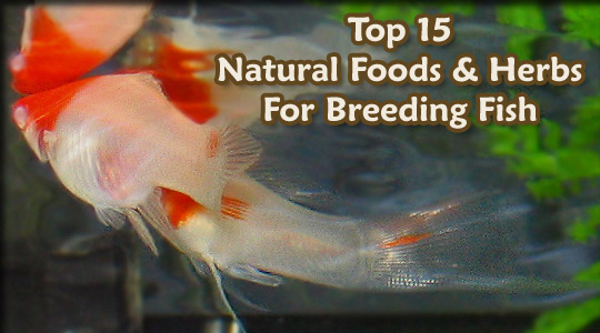 Top 15 Natural Foods And Herbs For Breeding Fish All