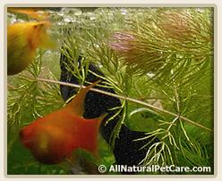 Red Hornwort (Ceratophyllum demursum & Ceratophyllum submersum)