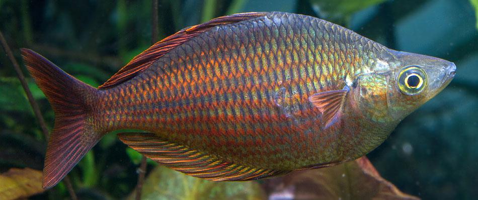 Natural Diet of Melanotaenia Rainbow Fish