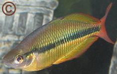 Melanotaenia trifasciata Rainbow Fish - Insectivore
