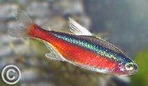 Paracheirodon axelrodi - Red_Cardinal_Tetra Insectivore