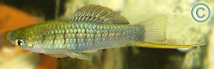 Wild-type Xiphophorus nezahualcoyotl Swordtail - omni-insectivorous