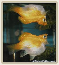 Ballon Belly Fish Exploit Painful Deformities