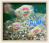 Dyed, Painted or Tattooed Parrot Cichlids Suffer