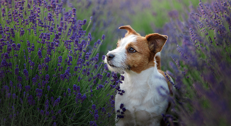 Lavender (Lavandula angustifolia) Herb For Pets