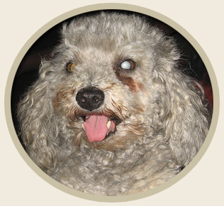 Natural Treatment and Prevention of Dog Cataracts