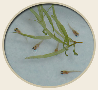 Calcium Montmorillonite Clay - Aquarium Fish Breeding