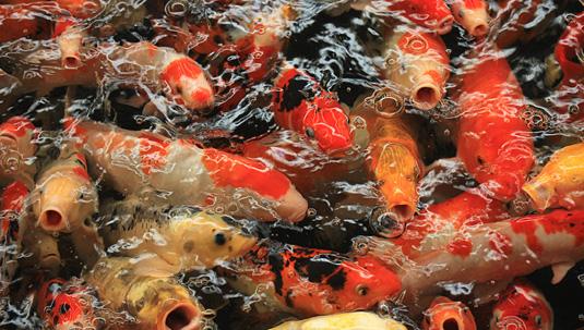 Benefits of Montmorillonite Clay for Pond and Aquarium Fish
