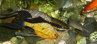 Garlic Fish Food - Aquarium