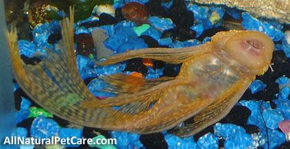 Get Rid of Aquarium Algae the Natural Way - Suckermouth Catfish