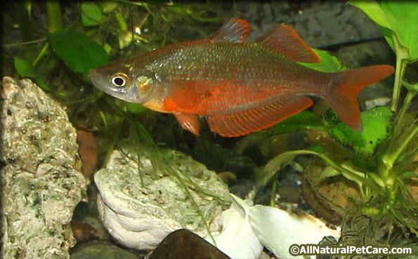 Glossolepis pseudoincisus Rainbowfish