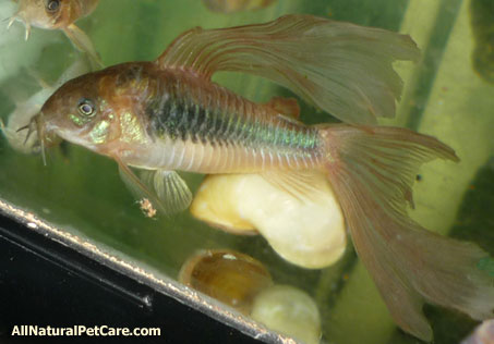 Natural Fish Food for Fancy Fins
