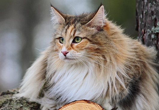 Natural Diet of Large Breed Domestic Cats