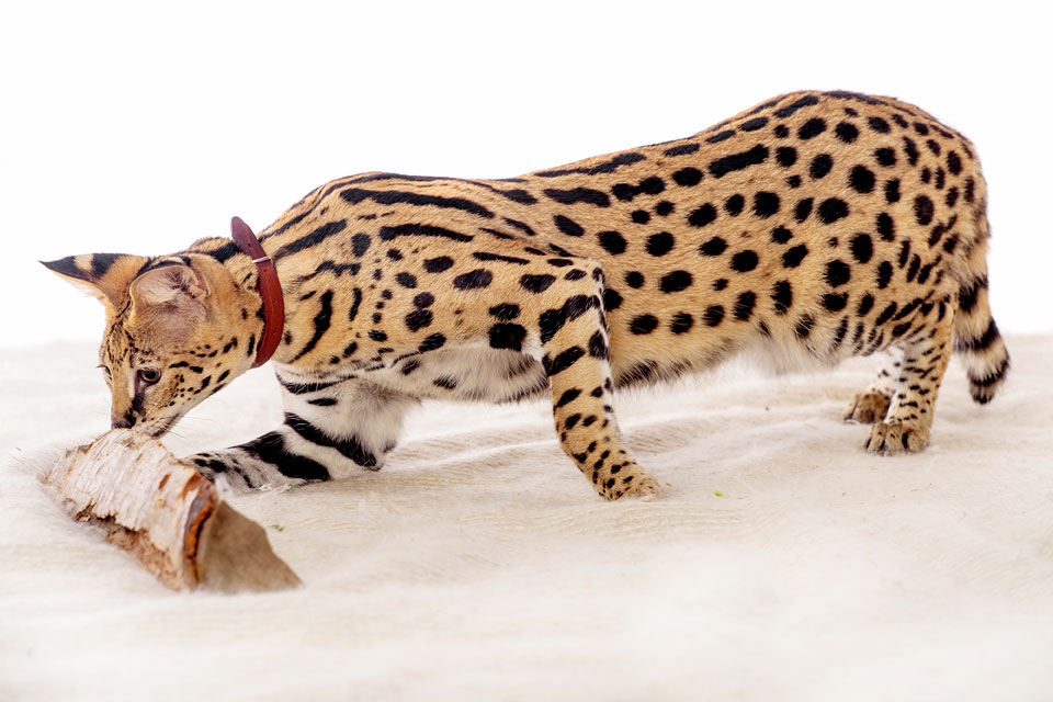The Natural Care of African Serval Cats