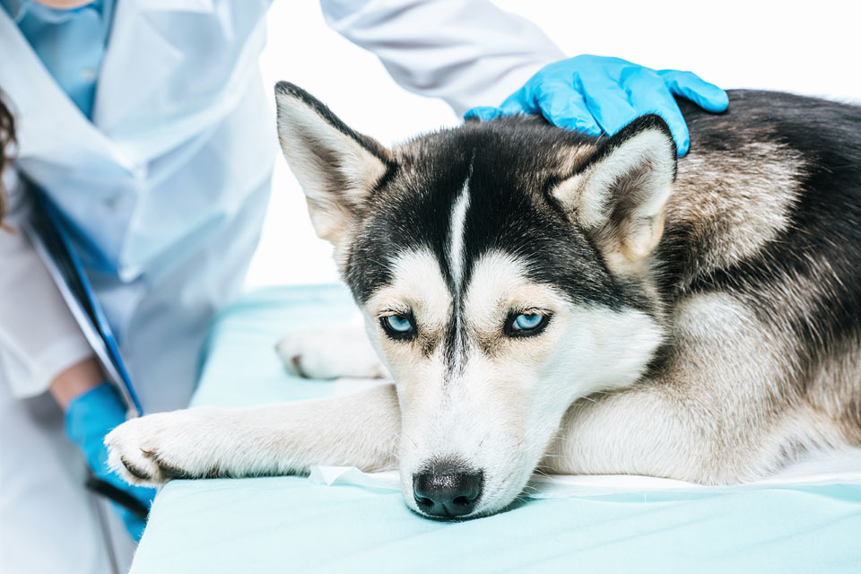Natural Treatment and Prevention of Liver Disease in Dogs